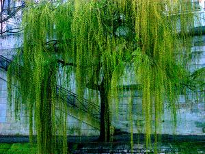 Weeping Willow maladies